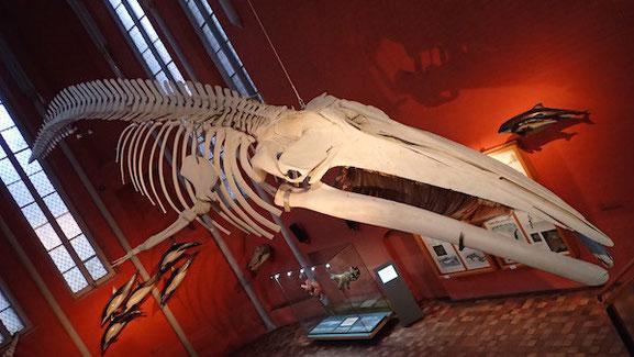 Finnwalskelett im Meeresmuseum in Stralsund