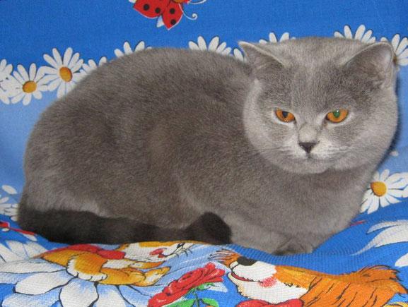 Бриджит голубая ританская короткошерстная кошка Жужа