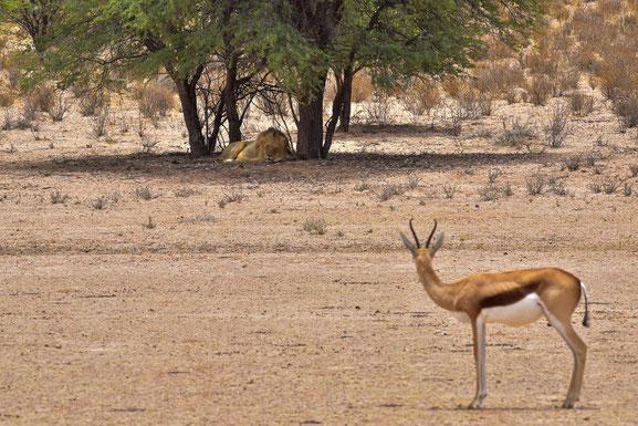 In dieser Mittagshitze sind Antilopen maximal einen Blick wert