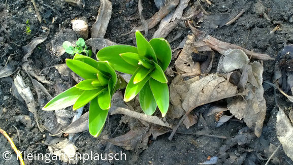 Kräftige aus der Erde guckende Alliumblätter zweier Pflanzen