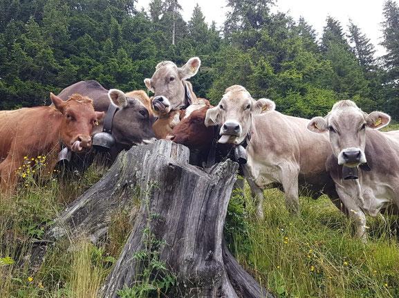 Lustige Rinder auf der Alp Jänzimatt
