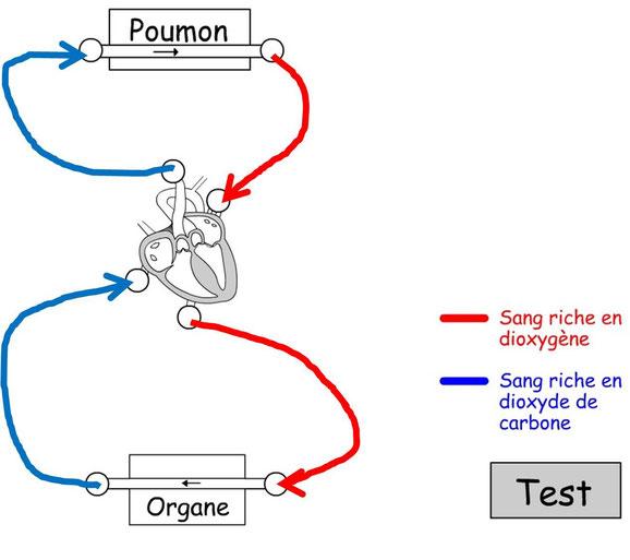 La circulation sanguine entre les poumons, le coeur et le muscle (organe).