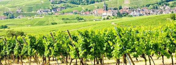 Vignoble et Cépages Alsacien