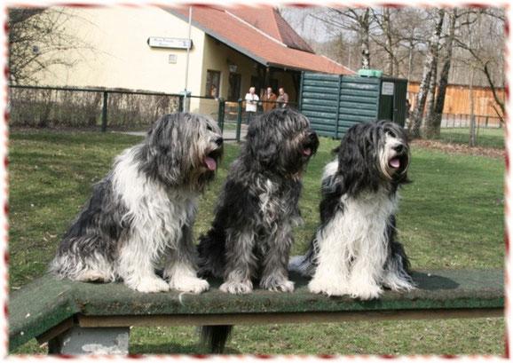 unsere drei Schapendoes Damen Nelly, Bajule und Maxima im Besitz von Schapendoeszüchter Doris Schinder in Bayern beim Hundesport in Dachau beim Hundesport