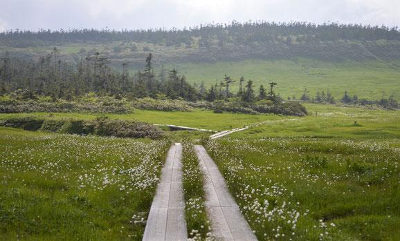 ワタスゲの群落。足元をよくよく見ればモウセンゴケやイワイチョウ。高層湿原地帯、絶景なり。