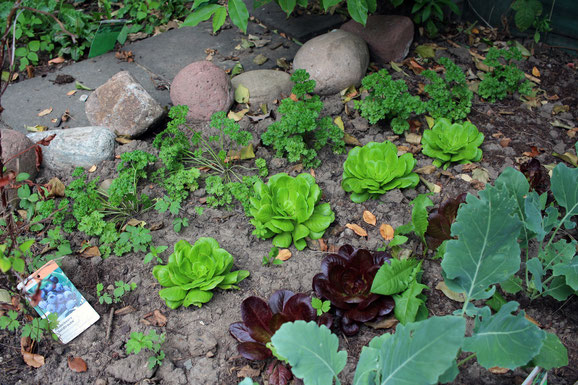 Bunte Beetmischung aus Salat-, Kohlrabi-, Petersilie- und Blaubeerpflanzen