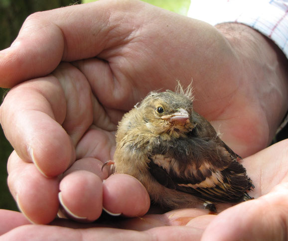 Junger Buchfink (Foto © Jenewein-Stille)