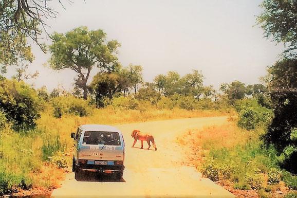 Krüger Nationalpark selbstfahren: Löwen kreuzen die Straßen