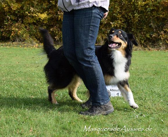 Weltrangliste ASCA Rally-Obedience: #7 RALLY EXCELLENT MASTERS DOG: Zestforlife Tiranog Masquerade ODX CDX UD REX RMX REMX DNA-VP