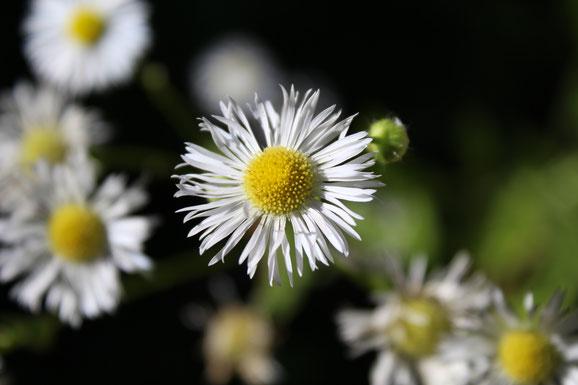 Hübsch aber invasiv: das Einjährige Berufkraut. Einst als Zierpflanze aus Amerika nach Europa gebracht verbreitete sich die Pflanze bei uns rasch.