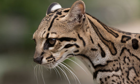 Ocelot. Wildlife conservation. Endangered species in Trinidad and Tobago.
