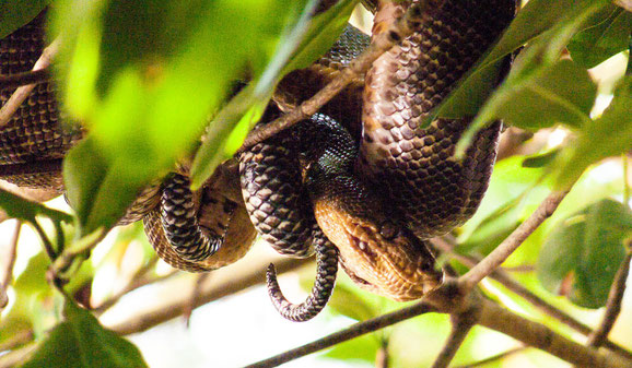 Cascabel. Tree boa. Caroni swamp. Oli Price photo.