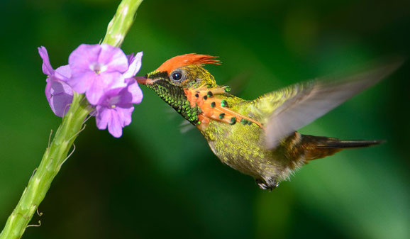 Tufted coquette. Hummingbird. Fauna and flora. Trinidad and Tobago. Birdwatching.