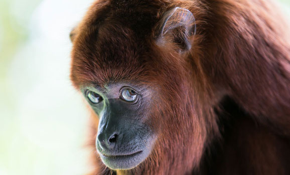 Red howler monkey. Wildlife rescue. Trinidad and Tobago. Howler conservation.
