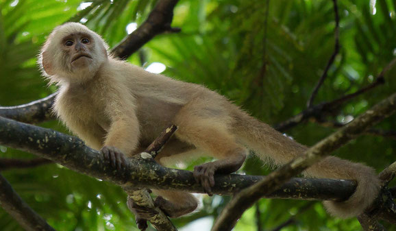 White-fronted capuchin monkey. Environmental conservation. Trinidad and Tobago.