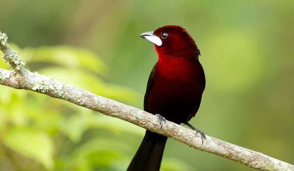 Silver-beaked tanager. Bird conservation project Trinidad and Tobago.