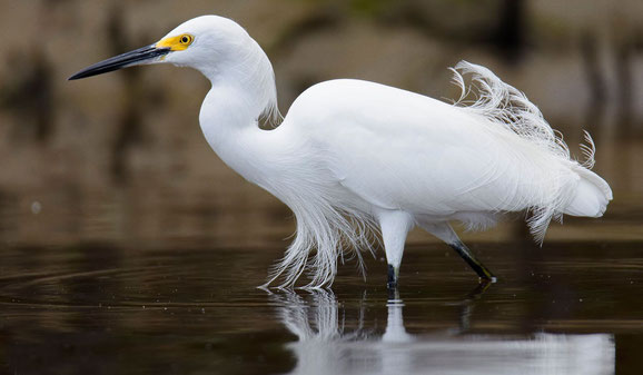 Snowy Egret. Kevin Sammy photography. Wildlife protection. Endangered species. Trinidad.