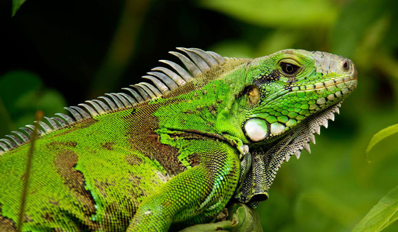 Green iguana. Vulnerable to poaching and illegal hunting. Trinidad.