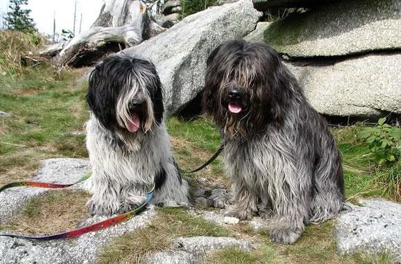 links Bella von Walsede aus unserem B- Wurf, rechts Weggefährte Asco