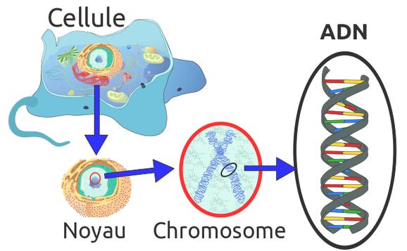 """L'ADN est l'acide désoxyribonucléique. Il est constitué de 2 hélices, elles-mêmes constituées de bases azotée (présence d'azote, N) visible ici sous la forme des """"bâtons"""" de couleur. Source : wikipédia."""