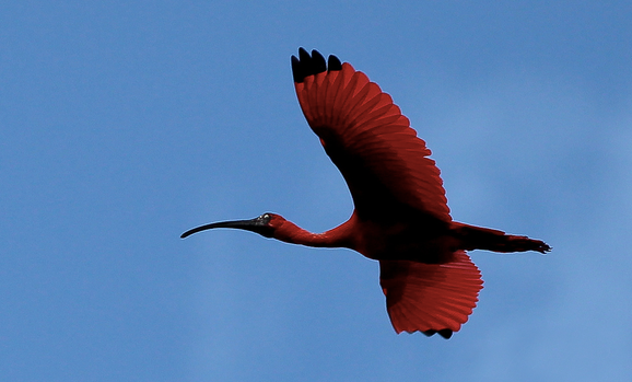 Scarlet ibis in flight. National bird. Trinidad and Tobago. Protected species. Wildlife.