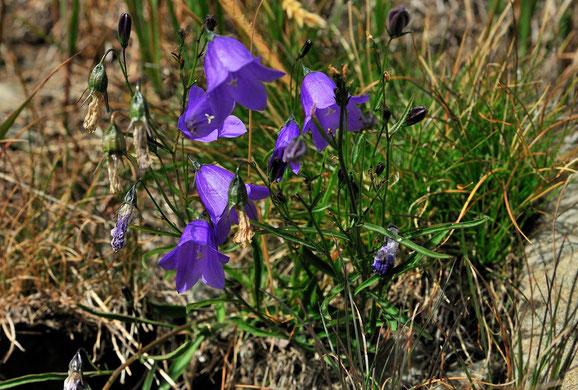 _DSC8880_Campanule alpestre-Campanula alpestris-Astéracées-Alpine bellflower