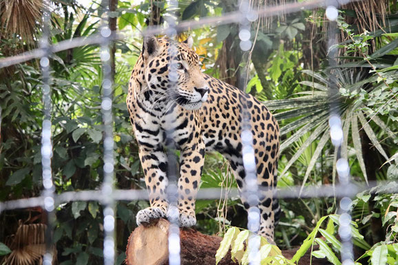 Ein Jaguar, ein Tier, das im Dschungel von Guatemala lebt und heutzutage von den Menschen selten gesehen wird.
