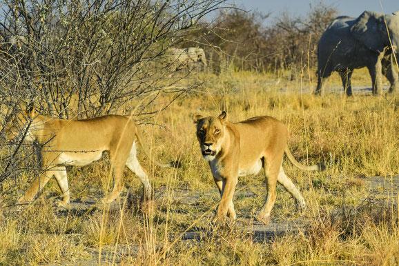 Der Elefant im Hintergrund war nicht erfreut über den Löwenbesuch und verjagte sie