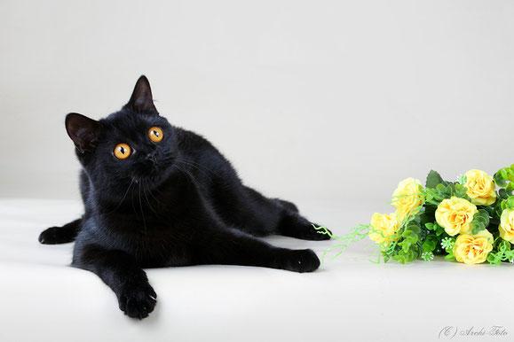 Кошка скоттиш-страйт, черного окраса, scottish straight female, black cat