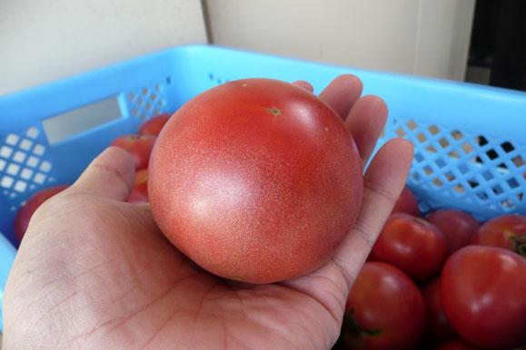 加工場に搬入されるトマトは綺麗だ