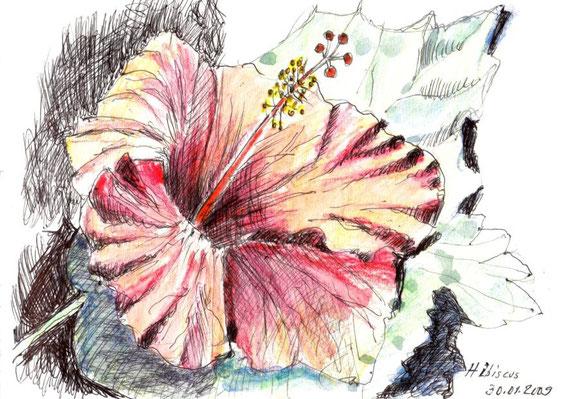 Hibiscus, Kerala, 2009 (Farbstift)