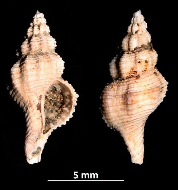 Latirus ligusticus, Piacenziano di Vignola (MO)