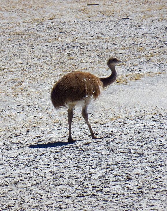 Grosses Glück! Wir sehen einen Nandu (könnte sich um einen Jungvogel des Darwin-Nandu handeln).