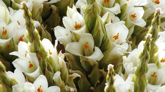 Die Puya raimondii lässt tausende von Blüten erblühen. Nur einmal schafft sie diesen Kraftakt, dann stirbt sie langsam ab.