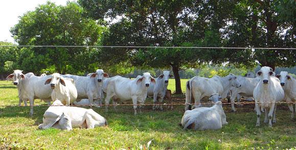 Zebu-Rinder beäugen uns neugierig.