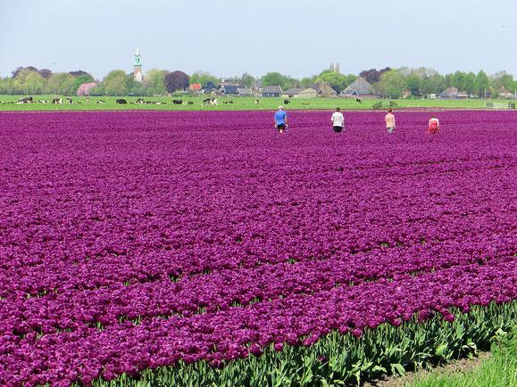 Wunderschön, die Tulpenfelder rund um Amsterdam.