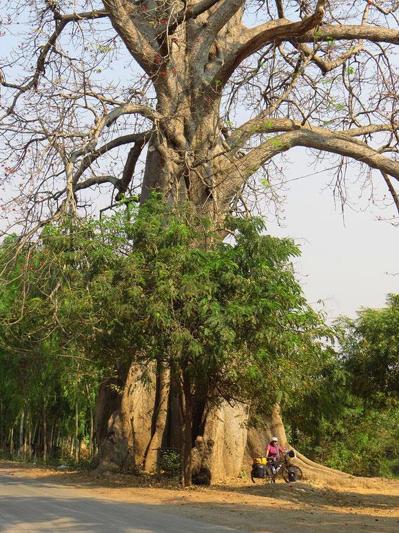Riesig, der Baum!