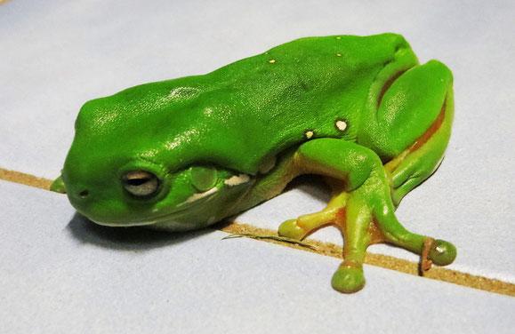 Dieser grüne Laubfrosch hat sich in den Herrentoilette verirrt.