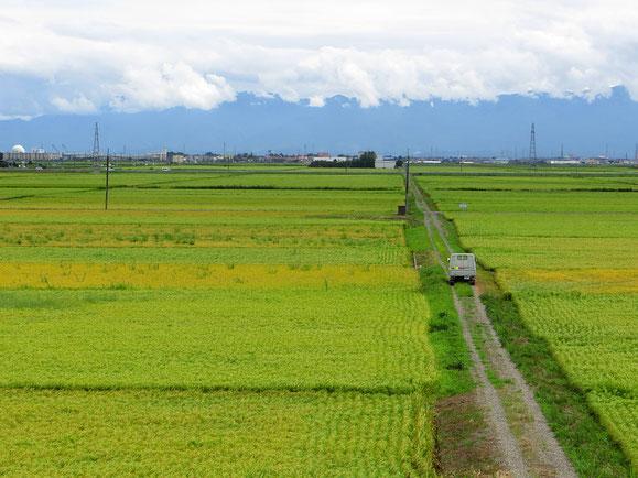 Reisfelder bilden einen dichten Teppich in den verschiedensten Grüntönen, je nach Reifegrad der Reispflanzen.
