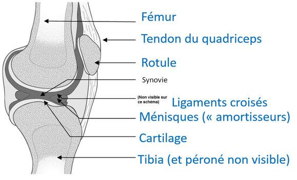Schéma de l'articulation du genou d'un humain. Source : modifié de ?