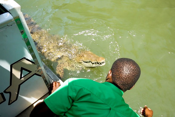 Black River Safari tour guide beckons a crocodile to a boat at an excursion in South Coast, Jamaica