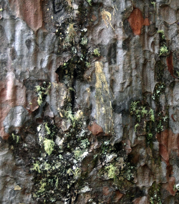 Close up of the Square Kauri's barkwith lichens, peeling bark and dried kauri gum that at one time was used to make varnish and highly sought after.