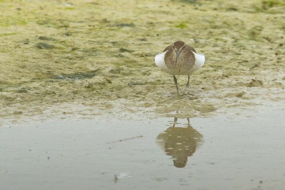 oiseau, baie de Somme, chevalier guignette, actitis hypoleucos