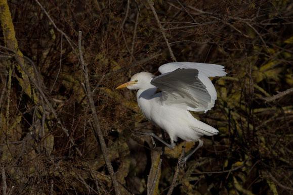 Heron gardeboeufs Bubulcus ibis