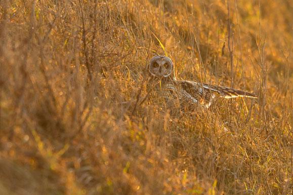 Hibou des marais posé dans la végétation du Hâble d'Ault