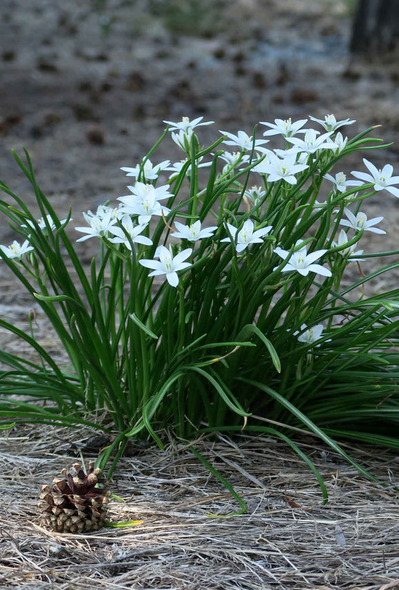 初夏・一群の小さき白い花