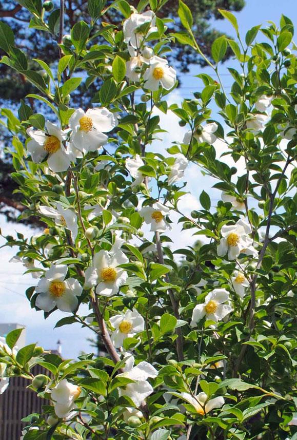 夏椿(沙羅の木)