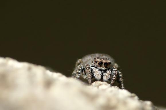 Sitticus rupicola, Weibchen