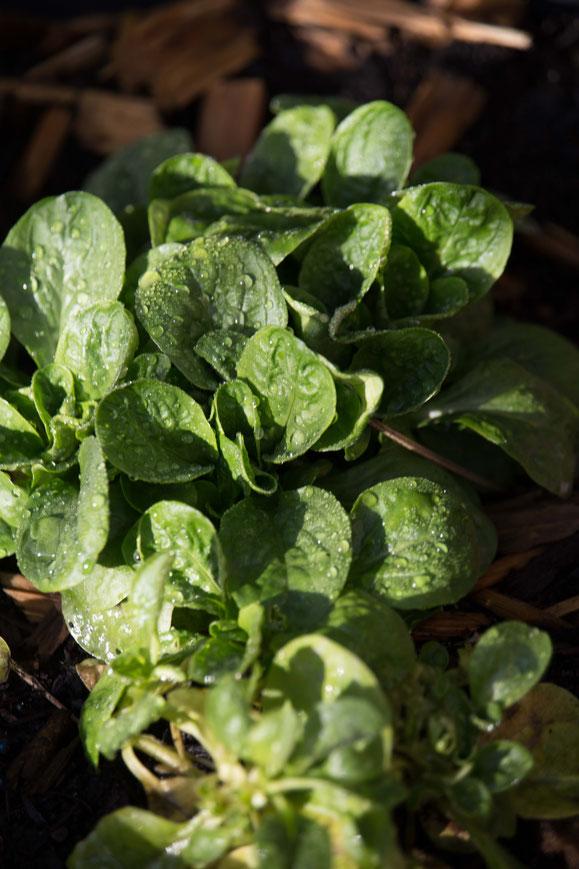 Steamer Rezept: Nüsslisalat aus dem Garten.