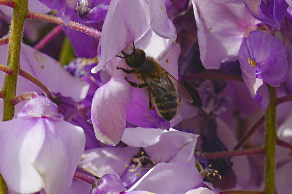 Bienen-Video mit Honigbienen beim Nektarsammeln in einem Blauregen von Thomas Benecke